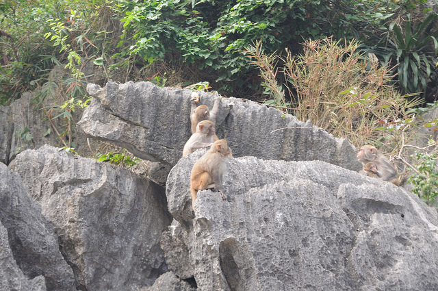 Ha Long Bay - monkeys